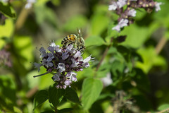 20190722 Oregano Blossoms and Bee (Dolores.G) Tags: 365the2019edition 3652019 day203365 22jul19