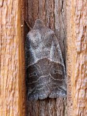 Eupsilia devia (Gary Walton) Tags: eupsiliadevia moth insect spring lepidoptera noctuidae xylenini minnesotamoths carltoncounty