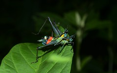 Clown Grasshopper Love day (entomopixel) Tags: insects clowngrasshopper orthoptera