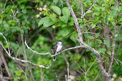 ashleyreservoir2019-108 (gtxjimmy) Tags: nikond7500 nikon d7500 tamron 18400mm summer newengland holyoke massachusetts ashleyreservoir bird easternkingbird