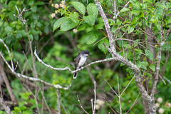 ashleyreservoir2019-106 (gtxjimmy) Tags: nikond7500 nikon d7500 tamron 18400mm summer newengland holyoke massachusetts ashleyreservoir bird easternkingbird