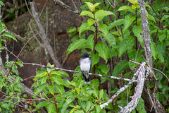 ashleyreservoir2019-104 (gtxjimmy) Tags: nikond7500 nikon d7500 tamron 18400mm summer newengland holyoke massachusetts ashleyreservoir bird easternkingbird
