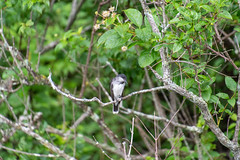 ashleyreservoir2019-103 (gtxjimmy) Tags: nikond7500 nikon d7500 tamron 18400mm summer newengland holyoke massachusetts ashleyreservoir bird easternkingbird
