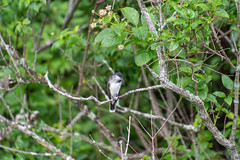 ashleyreservoir2019-102 (gtxjimmy) Tags: nikond7500 nikon d7500 tamron 18400mm summer newengland holyoke massachusetts ashleyreservoir bird easternkingbird