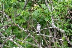 ashleyreservoir2019-98 (gtxjimmy) Tags: nikond7500 nikon d7500 tamron 18400mm summer newengland holyoke massachusetts ashleyreservoir bird easternkingbird