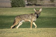 Ist mir im Death Valley über den Weg gelaufen... (Deepmike70) Tags: nature wildlife animal coyote koyote deathvalley california californien