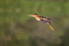 A Clockwork Orange (gseloff) Tags: leastbittern bird flight bif food feeding parent nature wildlife water horsepenbayou pasadena texas kayak gseloff