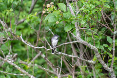 ashleyreservoir2019-101 (gtxjimmy) Tags: nikond7500 nikon d7500 tamron 18400mm summer newengland holyoke massachusetts ashleyreservoir bird easternkingbird