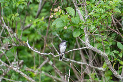 ashleyreservoir2019-100 (gtxjimmy) Tags: nikond7500 nikon d7500 tamron 18400mm summer newengland holyoke massachusetts ashleyreservoir bird easternkingbird