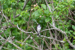 ashleyreservoir2019-99 (gtxjimmy) Tags: nikond7500 nikon d7500 tamron 18400mm summer newengland holyoke massachusetts ashleyreservoir bird easternkingbird