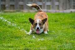 Bow (Kenjis9965) Tags: sonya7iii sony70200mmf28gm sel70200gm sony a7 iii a7iii 70200mm f28 gm g master cardigan welsh corgi dog doggo pupper puppy playing outside brindle blue merle adorable stumpy running water summer fun heat