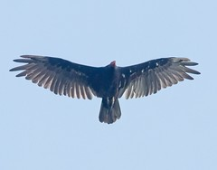 Turkey vulture (Goggla) Tags: bristol connecticut turkeyvulture wildlife bird vulture