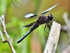 Dragonfly ~ Explored (Jane Lazarz Nature Photography) Tags: kettlelakes janeelizabethlazarz walkingcolorado nikon p900 nikonp900 coloradosprings colorado janelazarz breathtakingcolorado clouds trails hiking walking landscape dragonfly