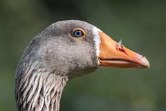 Graylag portrait (sean4646) Tags: nature birds suffolk nikon wildlife avian d500 rspb lakenheathfen graylaggoose rspblakenheath tamron150600 merehide explore
