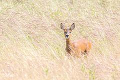 Roe deer (Holy Island, England) (Renate van den Boom) Tags: 06juni 2019 europa grootbrittannië holyisland jaar maand northumberland ree renatevandenboom zoogdieren