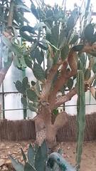 Opuntia Engelmannii (sftrajan) Tags: jardinbotaniquedelyon serre botanicgarden jardinbotanique hothouse desertplants lyon france parcdelatêtedor botanischergarten jardinbotanico invernadero lyonbotanicgarden cactaceae opuntiaengelmannii mexicanplants glasshouse succulent