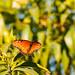 Queen butterfly - Desert Botanical Gardens, Phoenix