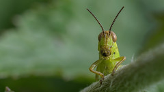 What's up? (Paul McGoveran) Tags: grasshopper nature nikond500 norfolkcounty sigma105mmf28 insect green coth5 ngc