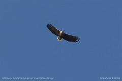White-tailed eagle (Haliaeetus albicilla) 3 (srkirad) Tags: animal bird eagle whitetailed haliaeetusalbicilla haliaeetus albicilla szolnok hungary flying wings sky huge sailing high