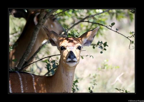 Hluhluwe Imfolozi Park- Afrique du Sud- South Africa