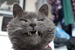 Argent Does Not Like This Picture (sjrankin) Tags: 23july2019 edited animal cat kitahiroshima hokkaido japan closeup argent bedroom bed silly yawn teeth