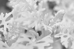 Not Coral (Isodopoulos) Tags: cape cod chatham coral june summer 2019 white ir infrared nikon d80 dslr manual focus jena pancolar 50 18 dof nature garden backyard sun new