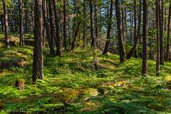 "Nature's Beauty in Focus (the ""non blur"" version) (Picture-Perfect Pixels) Tags: naturebynikon britishcolumbia franciskingprovincialpark vancouverisland woodland moody beautifullighting greens wood trees ferns hilly moss landscape highlands canada summer forest trail hiking walking park scenicsnotjustlandscapes flickrexplorejuly232019"