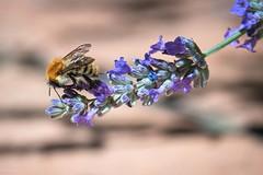 Tout au bout elle fait pencher sa branche (Hélène Baudart) Tags: bokeh lumixg9 lavande macro abeille