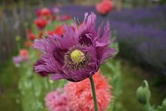 poppies and lavender - explored (quietpurplehaze07) Tags: mauve poppy poppies lavender bokeh macro lavendernursery sony a6000 sonya6000 f5iso1001500sec30mm