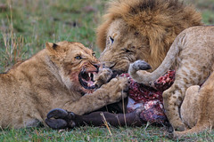 Table Manners (Xenedis) Tags: africa afrika animal bigcat bigfive buffalo capebuffalo cat eastafrica feeding gamedrive kenya kill lion lioness maasaimara maranorthconservancy narokcounty offbeatpride pantheraleo republicofkenya riftvalley safari simba wildlife
