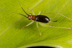 Little cricket (zosterops) Tags: australia queensland cairns macro insecta canoneos6d orthoptera cricket