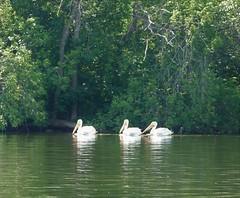 Drei Pelikane an großem See in ausgedehntem Stadtpark (naturgucker.de) Tags: ngidn138016632 pelecanuserythrorhynchos nashornpelikan
