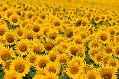 Rien que du Soleil (Excalibur67) Tags: nikon d750 sigma globalvision contemporary 100400f563dgoshsmc flowers fleurs tournesol sunflower girasole champ jaune yellow