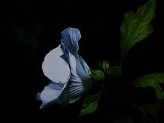 Efímera... (Tanialop) Tags: hibisco flora naturaleza hibiscus nature