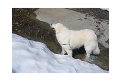 So geht's auch. (balu51) Tags: wanderung hund kuvasz ungarischerhirtenhund weiss schnee furt wasser bach hiking dog water snow spring graubünden surselva juni 2019 copyrightbybalu51