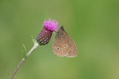 Luktgräsfjäril (Håkan Jylhä (Thanks for +950.000 views)) Tags: håkan jylhä sweden sverige summer sommar fjäril butterfly brown brun luktgräsfjäril sony rx10iv