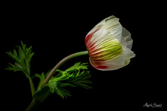 Anemone (Magda Banach) Tags: nikond850 anemone blackbackground bud colors flora flower green macro nature plants red yellow