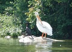 Pelikan und Kormoran putzen sich einträchtig (naturgucker.de) Tags: ngid1701214158 pelecanuserythrorhynchos nashornpelikan