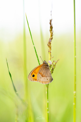Meadow Brown | Maniola jurtina