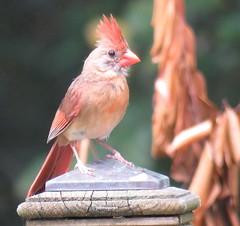 female cardinal2 (Patricia Pierce) Tags: northernfemalecardinal femalecardinal cardinal mobilealabama nationalwildlifefederation thenatureconservancy backyardwildlife alabamawildlife alabamabackyardwildlife audubon alabama