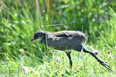 Early Morning stretch. (pstone646) Tags: chick bird nature wildlife waterfowl coot animal baby young elmleynnr fauna walking bokeh reeds