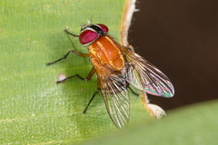 Orange Muscid fly (zosterops) Tags: australia queensland cairns macro insecta canoneos6d diptera muscidae