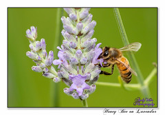 Honey Bee on Lavender (blazingsun2011) Tags: bees naturalworld nature