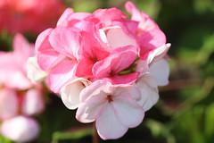 Denmead 190390 Geranium (Erving Newton) Tags: hants denmead garden geranium