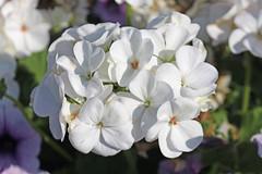 Denmead 190389 Geranium (Erving Newton) Tags: hants denmead garden geranium