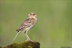 Grasshopper Sparrow Singing A Song (Daniel Cadieux) Tags: sparrow grasshoppersparrow singing sing song moss mossy grasslands alvar ottawa