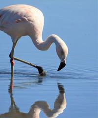 Chilean Flamingo, at the Salar de Atacama. (Ruby 2417) Tags: chile flamingo pink bird wildlife nature salar atacama chilean salt flats water reflection