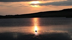 """"""" When the day is done, Down to earth then sinks the sun, Along with everything that was lost and won """" (gohope777) Tags: sunset silhouette swan reflections dark evening ripples golden summer staidens sky castleford west yorkshire"""
