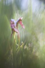 Darkness (Rafael Díez) Tags: españa alava paisvasco barriobusto macro primavera flor rafaeldíez orquídea bokeh desenfoque verde