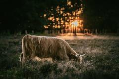 Highland cattle cow at sunset (Dannis van der Heiden) Tags: highlandcattle cow heath grazing trees dreamy scottischcattle nature naturepark grass sun foliage bokeh nikond750 d750 tamron70210mmf4 hilversum netherlands peaceful westerheide sunset